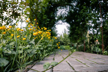buttercup, yellow flowers growing along a cobblestone path with sprouted green moss. blurred background. home gardening. landscape design.