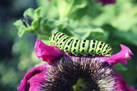 Green caterpillar on a pink flower close up