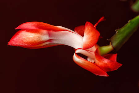 christmas cactus: Red christmas cactus flower on dark red background