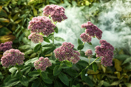 Flowerbed with pink stonecrop amid creeping smoke Stock Photo