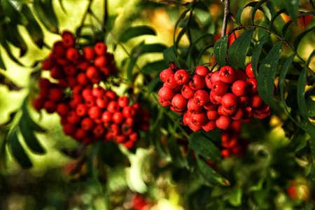 Ripe rowan berries and leaves close-up. Rowan tree, Close-up of bright rowan berries on a tree on a sunny day.