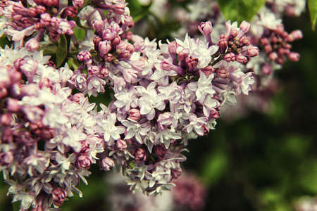lamiales: Pink with white lilac branch on background of natural greenery