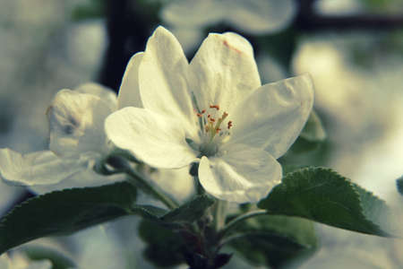 rosales: Apple flower close up during flowering at spring Stock Photo