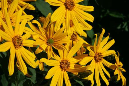 Yellow flowers of Jerusalem artichoke Helianthus tuberosus also called topinambour , sunroot, sunchoke and earth apple