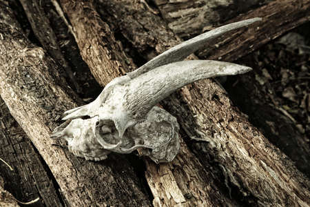 The skull of a goat on rotting logs Stock Photo