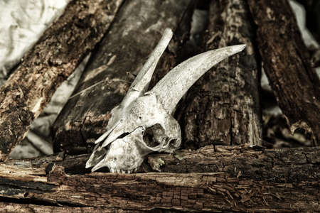 mournful: The skull of a goat on rotting logs Stock Photo