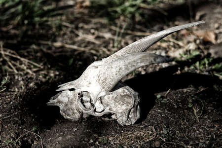 mournful: The skull of a goat lying on the ground
