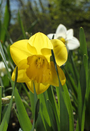 jonquil: Small yellow daffodils in green grass on sunny day Springtime motive; Miniature yellow narcissus in garden Stock Photo