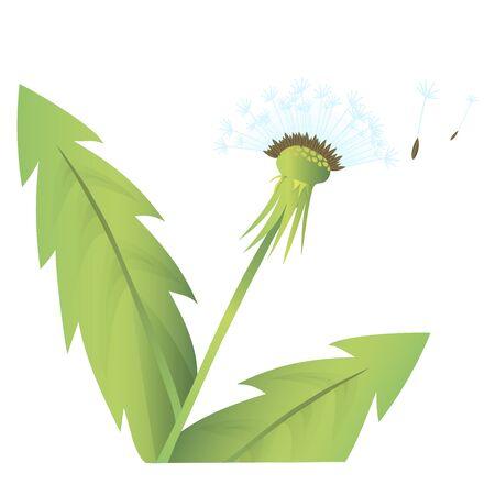 dandelion flower: Dandelion flower doodle color hand drawn  vector illustration