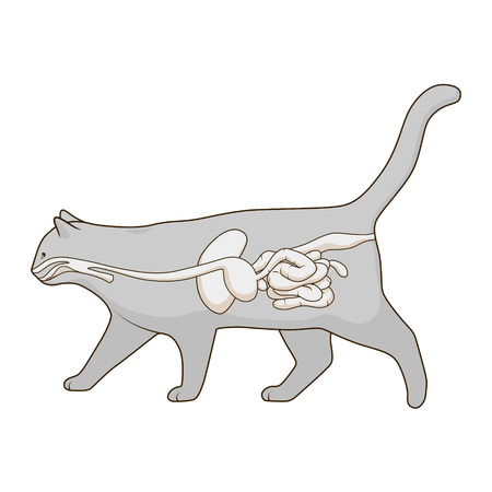 pharynx: Digestive system of the cat medical veterinary vector illustration