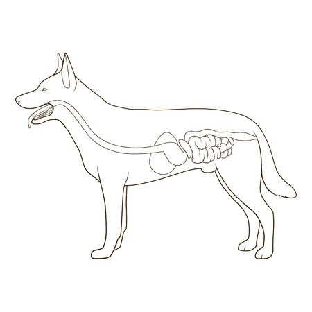 entrails stomach: Digestive system of the dog medical veterinary vector illustration