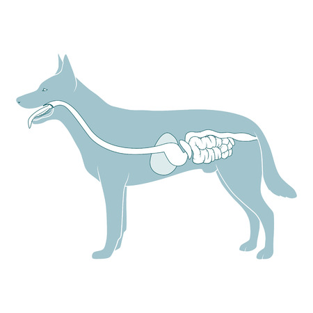 Digestive system of the dog medical veterinary vector illustration