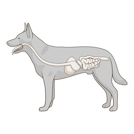 entrails: Digestive system of the dog medical veterinary vector illustration