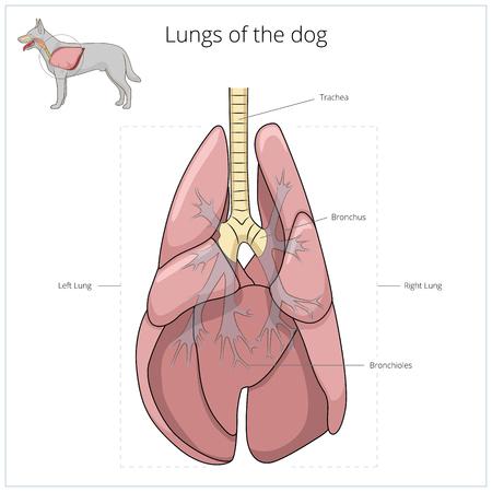 Sistema Respiratorio Del Perro Veterinaria Médica Ilustración ...