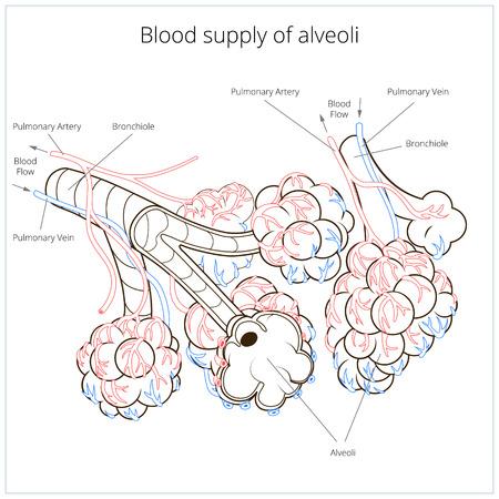 alveolos: Esquema de alv�olos cartel m�dica material educativo ilustraci�n vectorial