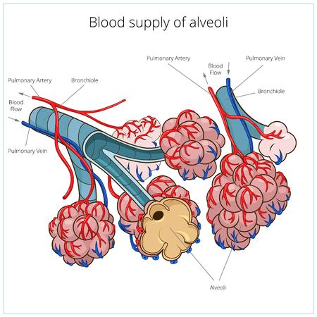 alveolos pulmonares: Esquema de alvéolos cartel médica material educativo ilustración vectorial