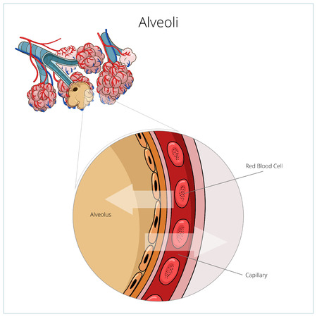 alveoli: Alveoli scheme medical educational material poster vector illustration Illustration