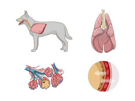 Respiratory system of the dog medical veterinary vector illustration Vectores