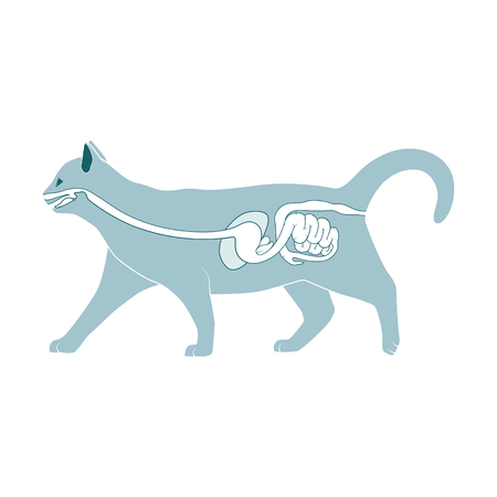 entrails: Digestive system of the cat  medical veterinary vector illustration