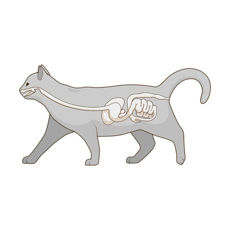 Digestive system of the cat  medical veterinary vector illustration