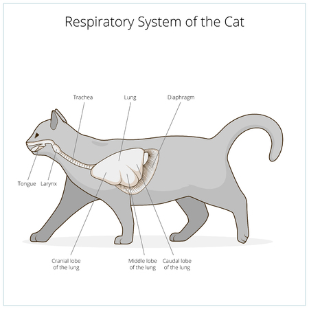 entrails: Respiratory system of the cat medical veterinary science educational vector illustration