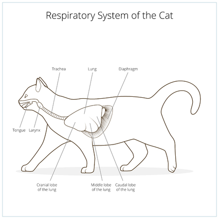 palate: Respiratory system of the cat medical veterinary science educational vector illustration