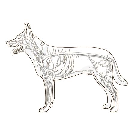 vascular: Vascular system of the dog medical veterinary science educational vector illustration