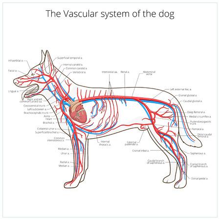 Vasculaire systeem van de hond medische diergeneeskunde educatieve vector illustratie