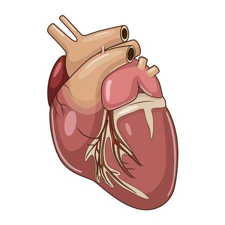 Heart of a dog medical veterinary science educational vector illustration