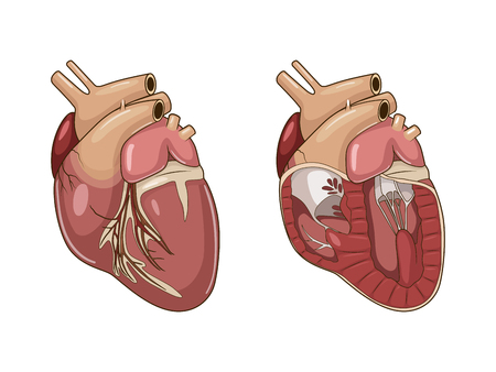 Heart of a dog medical veterinary science educational vector illustration