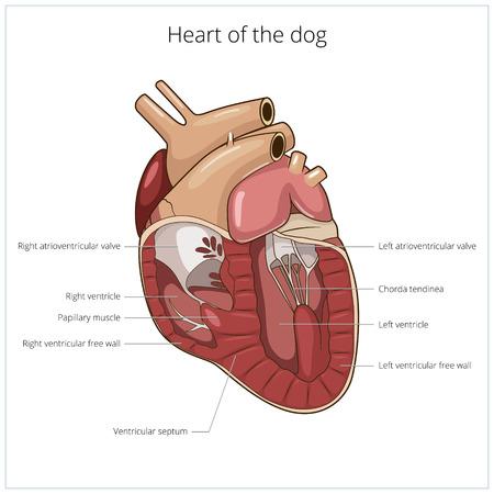 vein valve: Heart of a dog medical veterinary science educational vector illustration