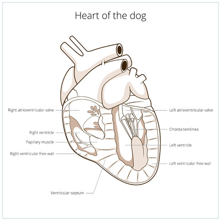 sectional: Heart of a dog medical veterinary science educational vector illustration