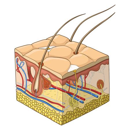 piel humana: Rebanada de estructura de la piel de la ciencia médica ilustración vectorial educativa