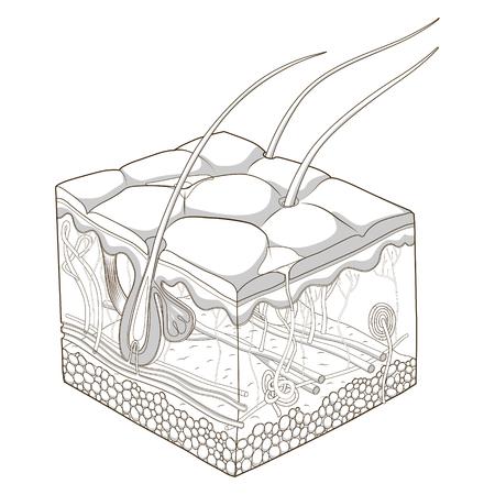 Rebanada de estructura de la piel de la ciencia médica ilustración vectorial educativa