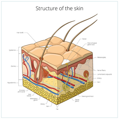 skin structure: Slice of skin structure medical science educational vector illustration