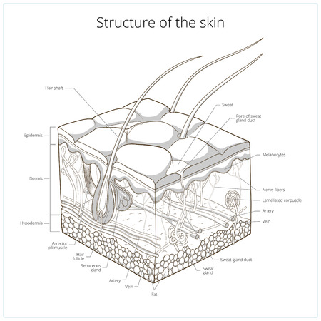 pores: Slice of skin structure medical science educational vector illustration