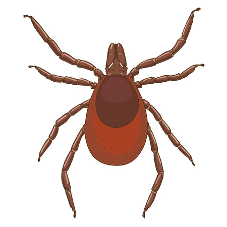 encephalitis: tick mite insect medical veterinary science educational vector illustration