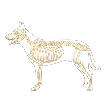 Dog skeleton veterinary vector illustration, dog osteology, bones Иллюстрация