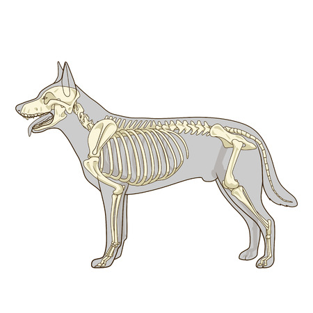 Dog skeleton veterinary vector illustration, dog osteology, bones Stok Fotoğraf - 46938250