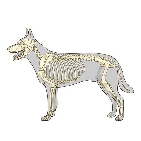 incision: Dog skeleton veterinary vector illustration, dog osteology, bones Illustration