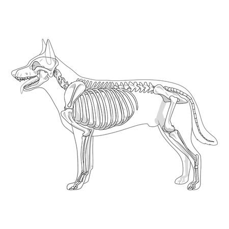 skull drawing: Dog skeleton veterinary vector illustration, dog osteology, bones Illustration