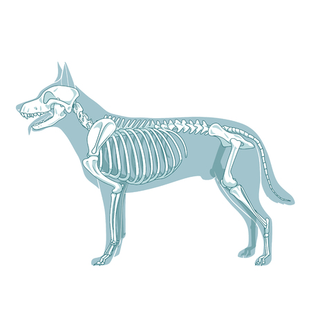 Dog skeleton veterinary vector illustration, dog osteology, bones Çizim