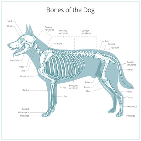 dogs: Dog skeleton veterinary vector illustration, dog osteology, bones Illustration