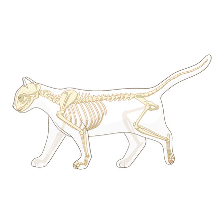 225 Cat Anatomy Cliparts, Stock Vector And Royalty Free Cat Anatomy ...