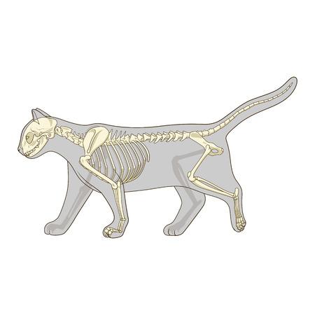 Cat skeleton veterinary vector illustration, cat osteology, bones
