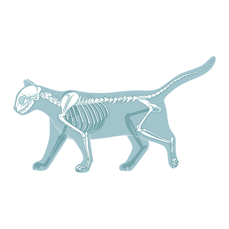 Cat skeleton veterinary vector illustration, cat osteology, bones