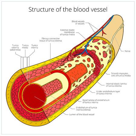 vasos sanguineos: Estructura de la ilustración del vector esquema de colores médica de los vasos sanguíneos. Material educativo Vectores