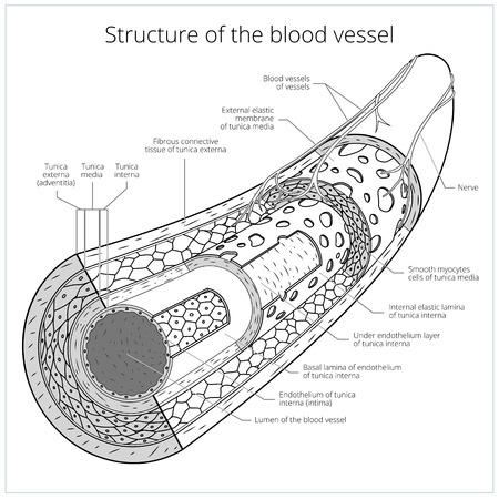 혈관 의료 무색 구성표 벡터 일러스트 레이 션의 구조. 교육 자료