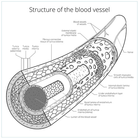 blood circulation: Structure of the blood vessel medical colorless scheme vector illustration. Educational material