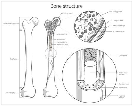 Bone structure medical educational science vector illustration. Bone anatomy